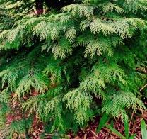 port-orford-cedar-foliage-close